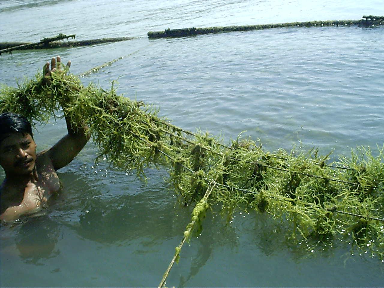 Petunjuk Praktis Mengelola Pasca Panen Rumput Laut Pakan Djpb Direktorat Jenderal Perikanan Budidaya